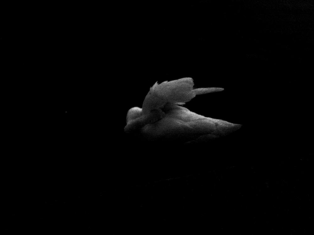 swans_first-0234.jpg