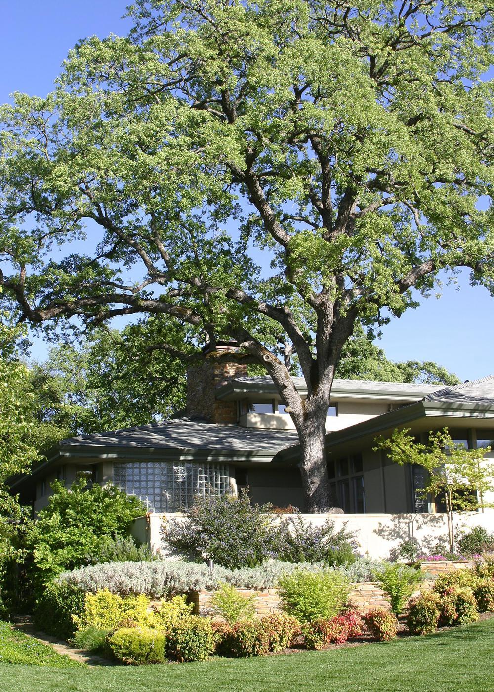 Courtyard surrounding existing large oak.
