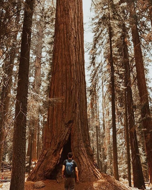 David and Goliath #GiantSequoia 🌲