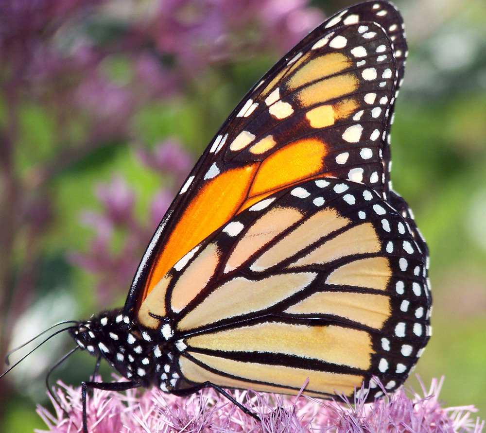 butterfly-on-flower-1304867482W6X.jpg
