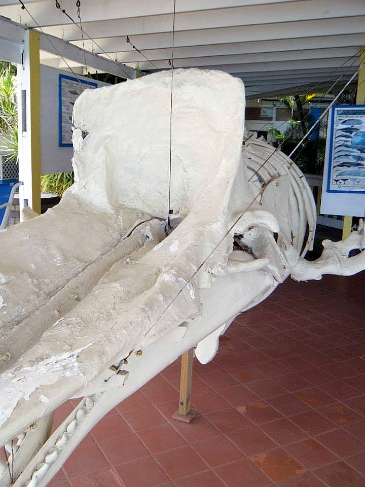Sperm whale skeleton in the educational center of the Anchorage Hotel and Dive Center (Photo: Aireona Bonnie Raschke, 2014)