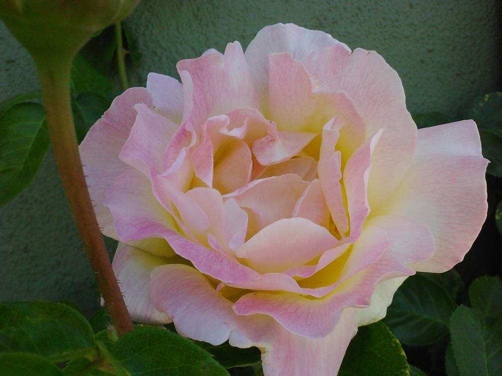 peace rose 2.jpg