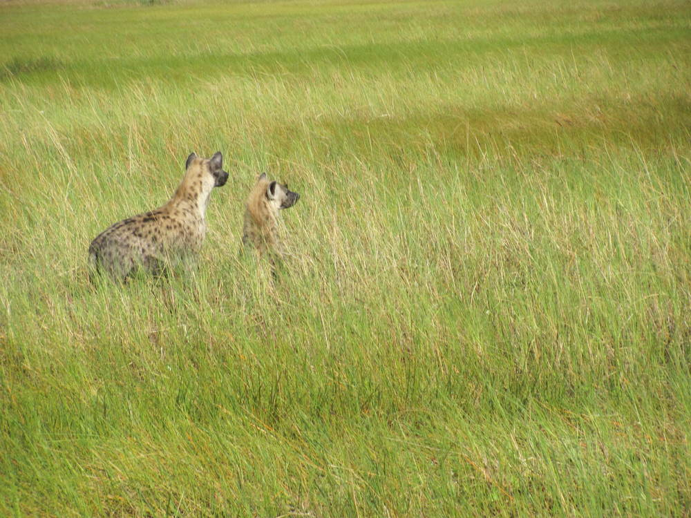 Hyenas Friday Morning.JPG