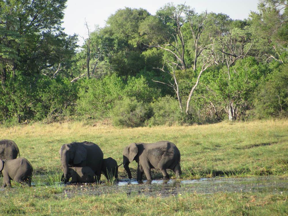 Elephants with baby Wednesday.JPG