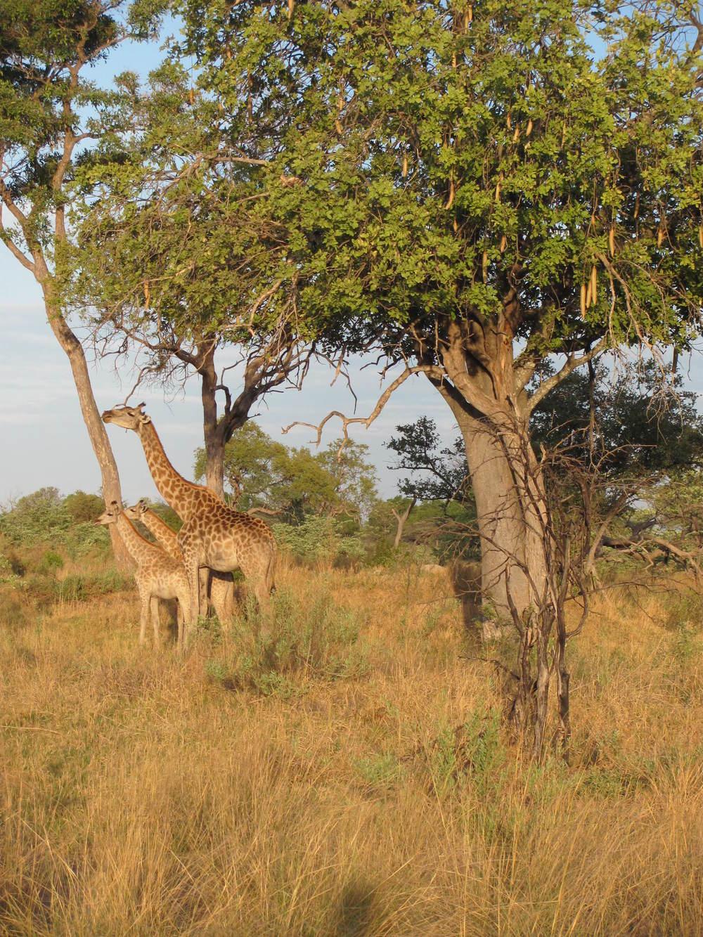 Giraffe with babies.JPG