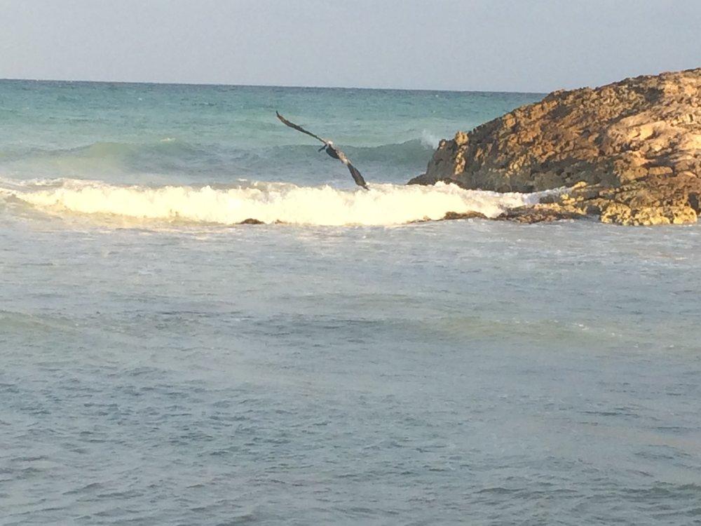 Pelicans fishing.JPG
