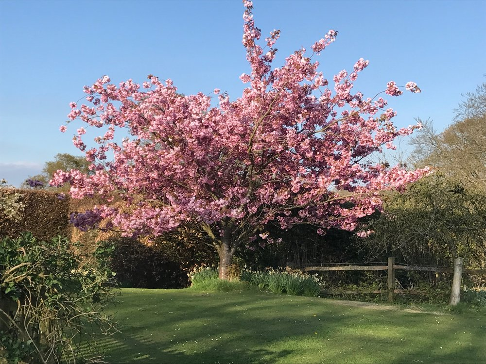 Cherry Trees in the Garden