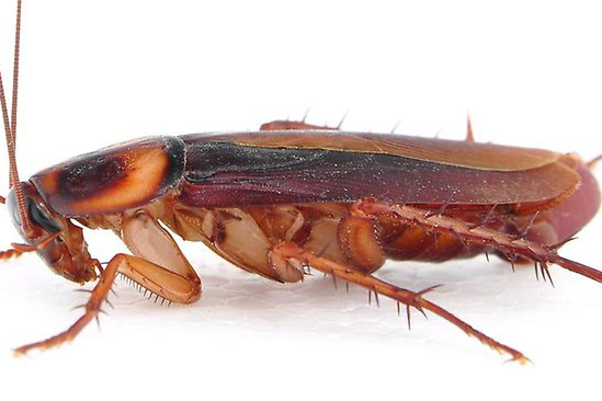 Cockroaches have quickly adapted to have an aversion to the glucose used in baits.