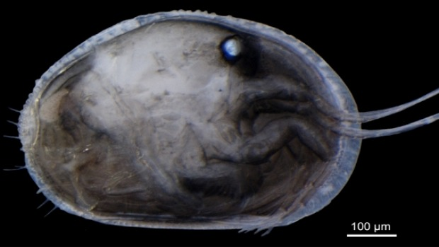 A specimen of the modern Australian ostracod  Newnhamia fenestrata  with the right valve removed.  Photo: Renate Matzke-Karasz