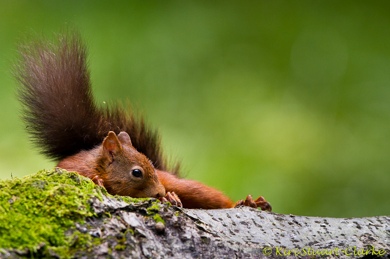 Red Squirrel On Mossy Tree