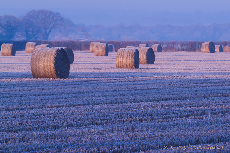 Round hay bales in pink light in arable field on a frosty morning, Norfolk