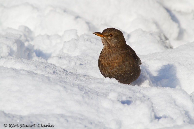 Female Blackbird in Snow