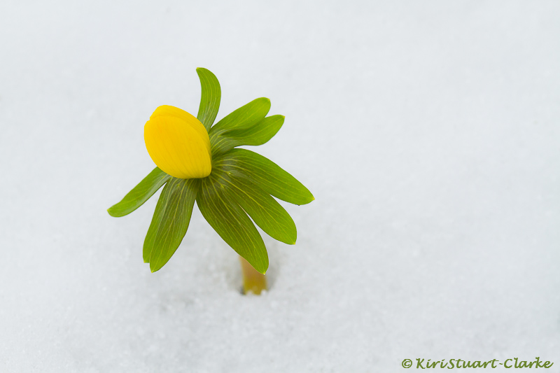 Winter Aconite Peeping Through Snow