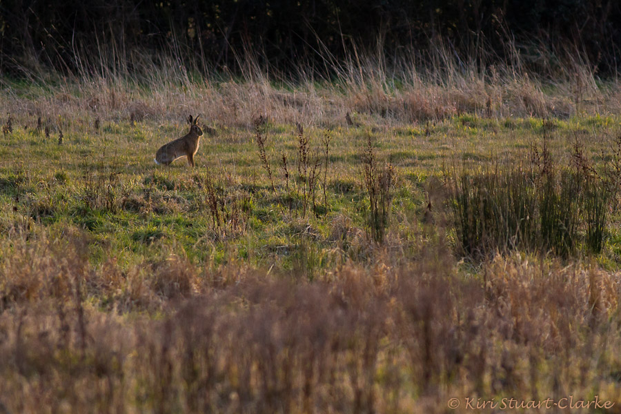 Alert brown hare in meadow, Norfolk wildlife