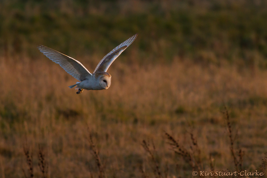 Barn owl hunting over meadow in evening light, Norfolk wildlife
