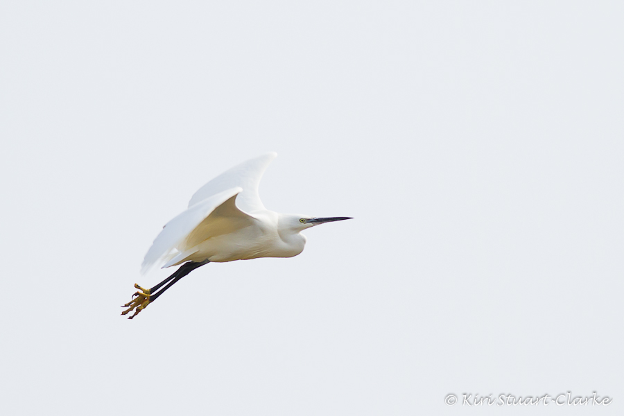 Little Egret on White