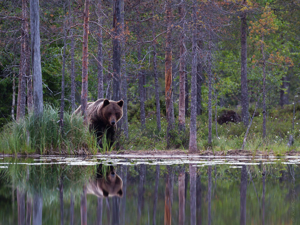 Brown bear reflection in dawn light