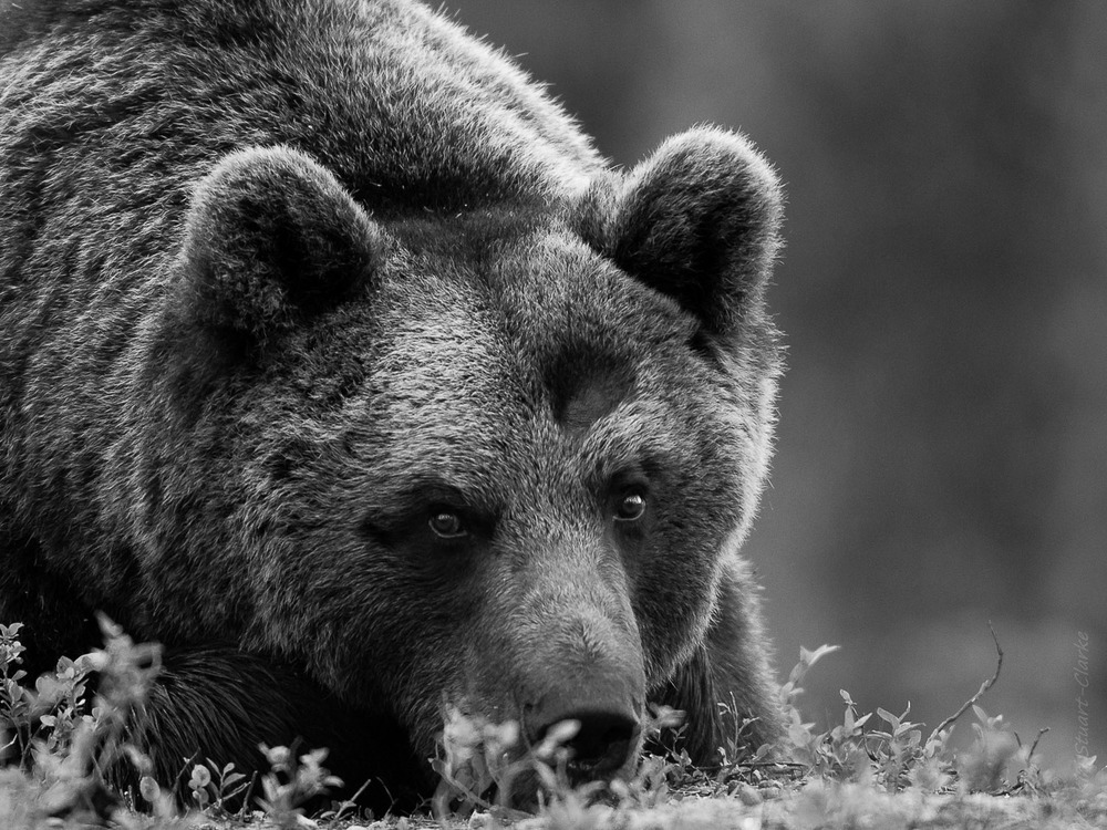 Brown bear portrait in black and white