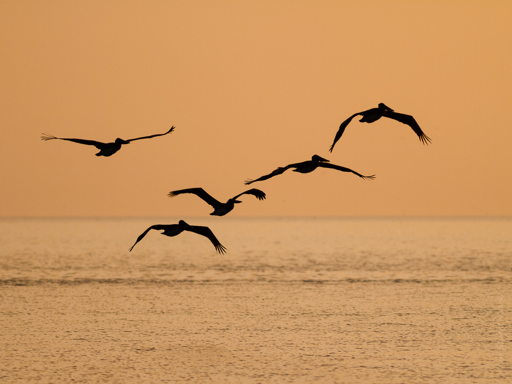 Brown pelican flying to roost