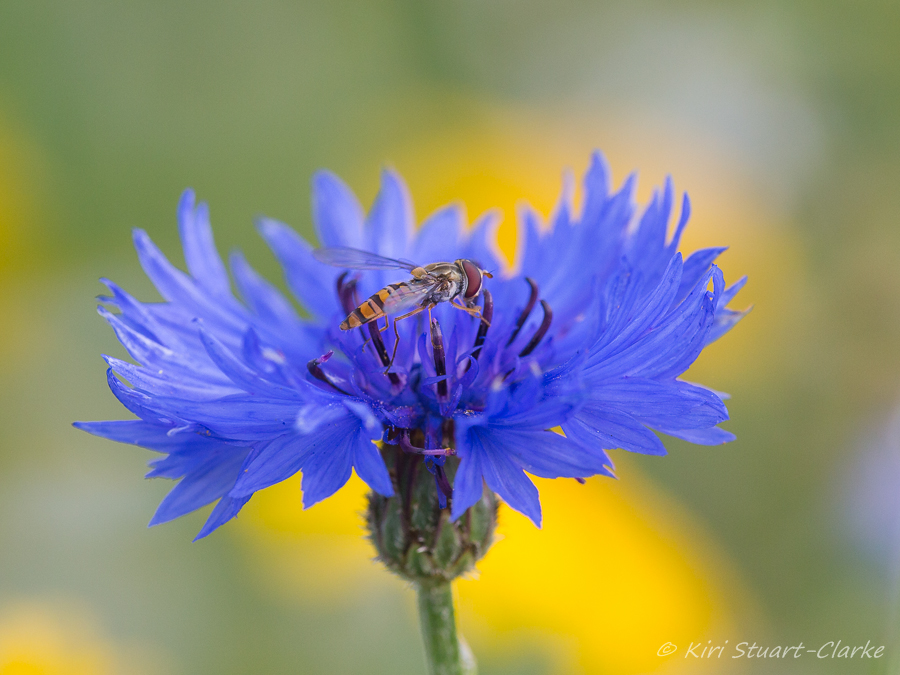 Hoverfly on cornflower