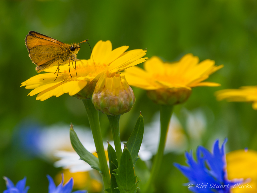 Essex skipper on corn marigold