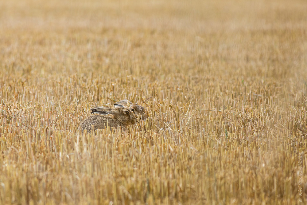Brown hare in form