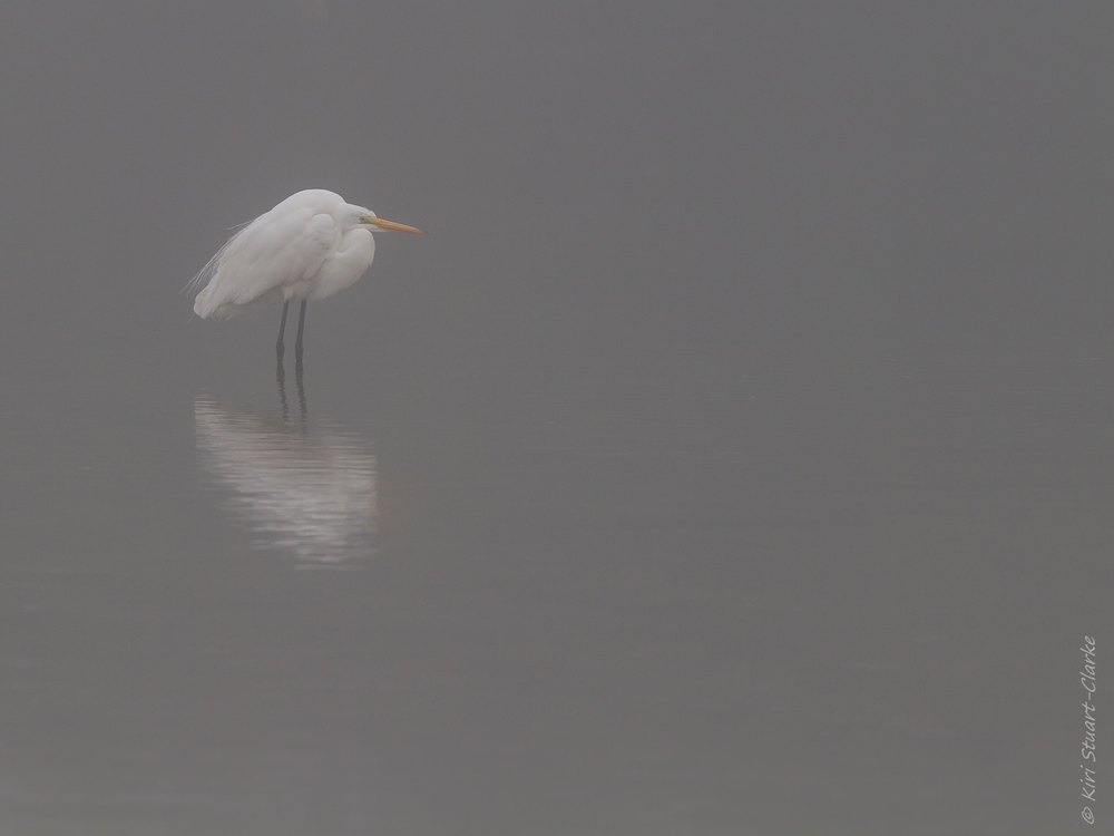 Great egret in the mist
