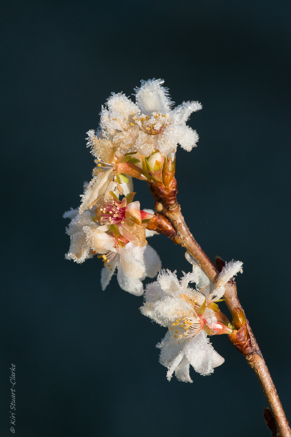 Frosty winter cherry blossom