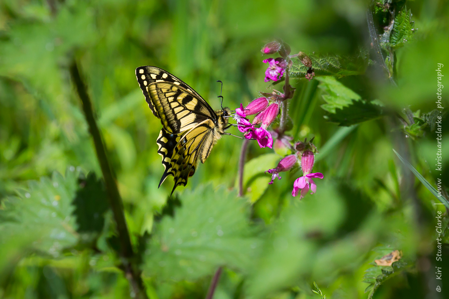 Swallowtails nectar on many pink and purple flowers including red campion, as well as yellow flag iris