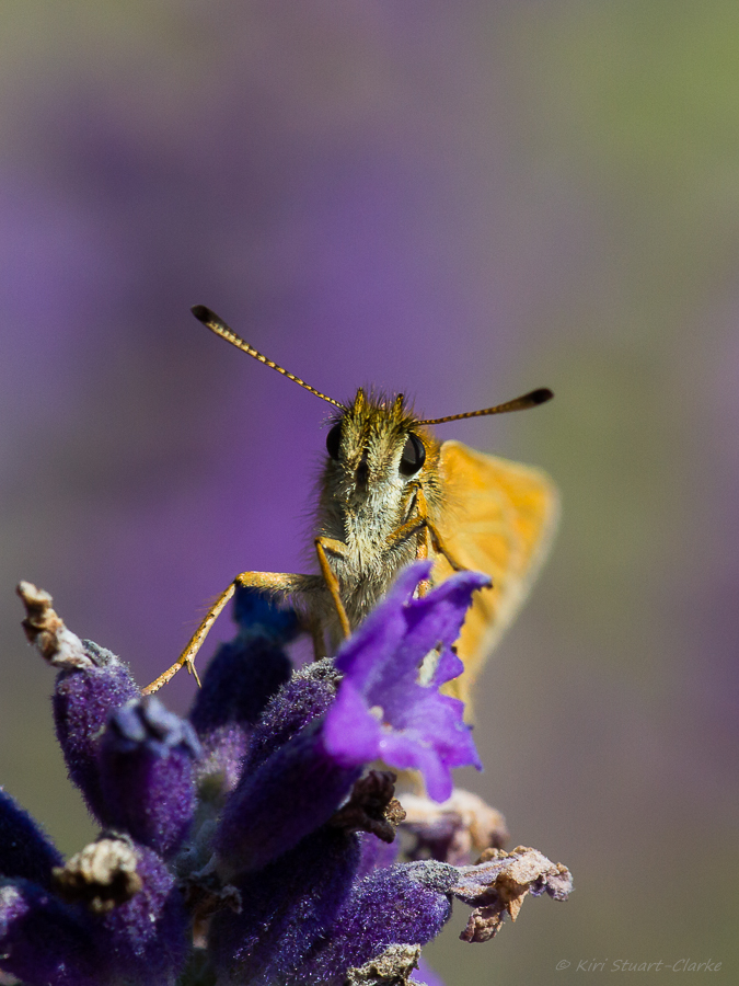 Essex Skipper has black antennae tips