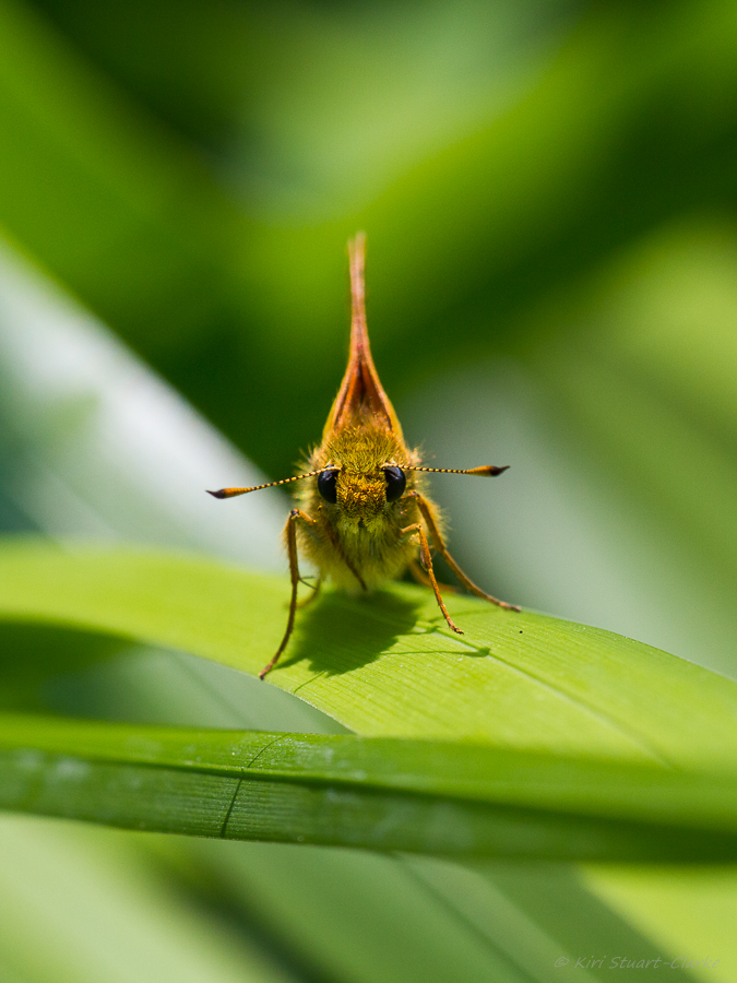 Large Skipper has black pointed antennae tips