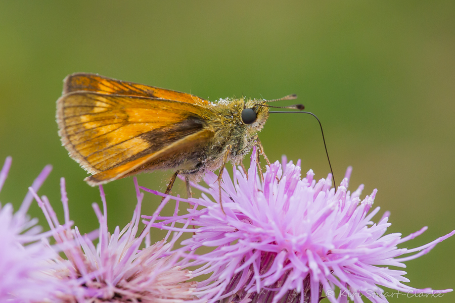 Large Skipper's chequered wing markings from side on as it drinks nectar with its proboscis