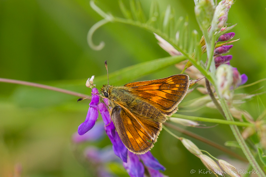 Large Skipper's contrasting chequered markings make it the easiest of the three most common skipper butterflies to identify