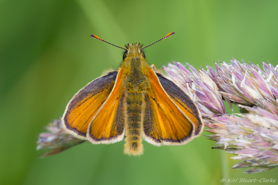 Small Skipper basking with wings open