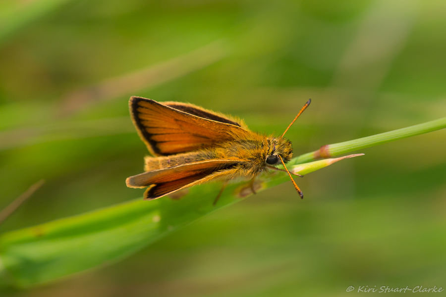 Male Essex Skipper has a shorter, straight, inconspicuous sex band that runs parallel to the edge of the wing