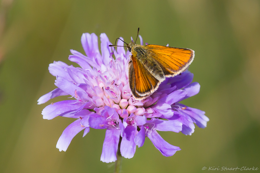 Essex skipper female, sometimes the dark borders radiate along the veins