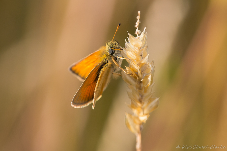 Essex Skipper female basking in evening light
