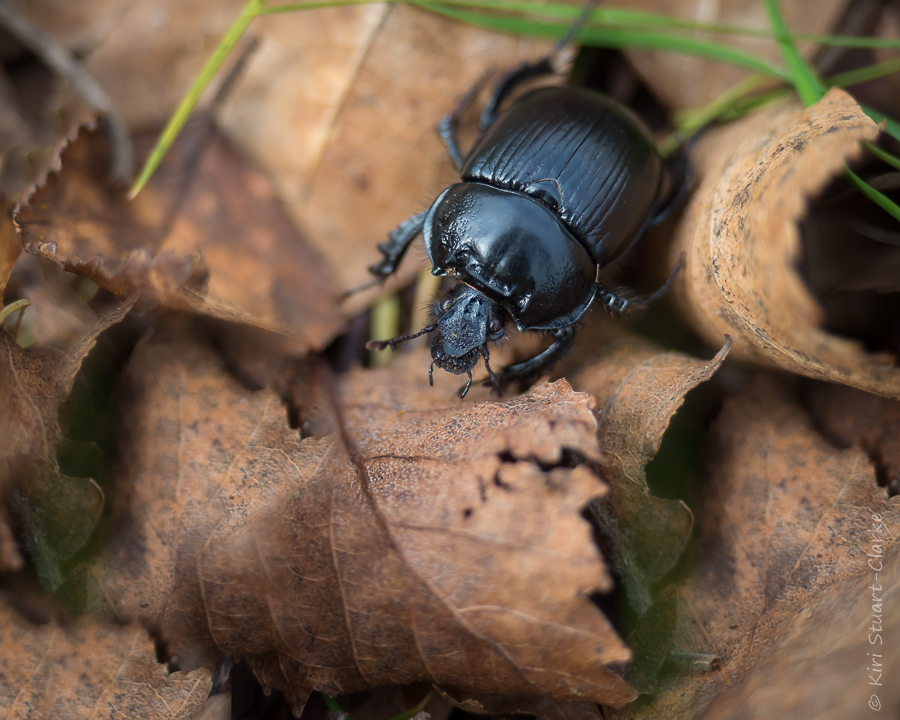 Minotaur beetle or Dor beetle