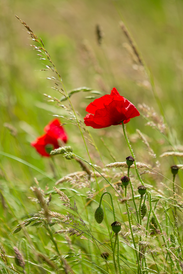 Common poppy wildflower in meadow