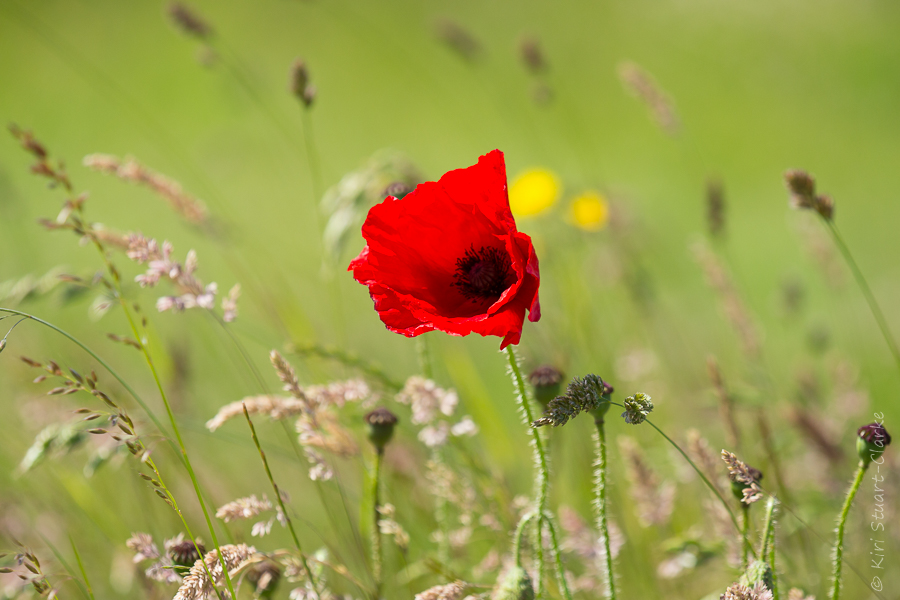 Common red poppy flower in meadow