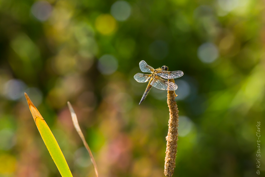 Four-spotted chaser dragonfly basking on reedmace