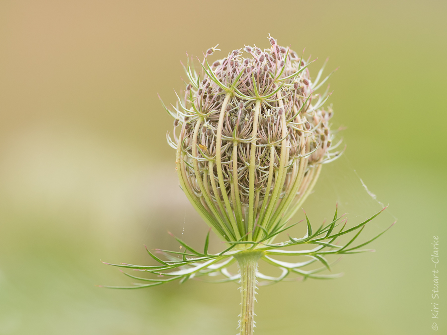 Wild carrot flower bud