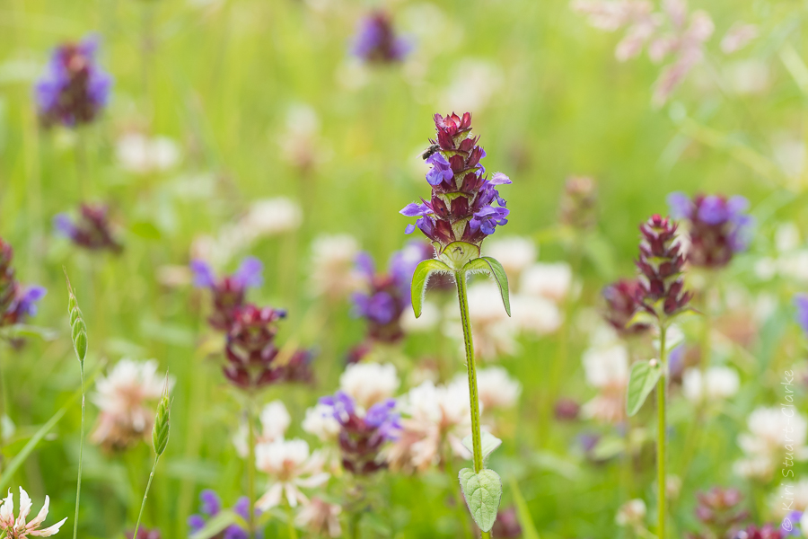 Selfheal and White Clover make an attractive, low maintenance wildlife friendly alternative to a traditional plain turf lawn