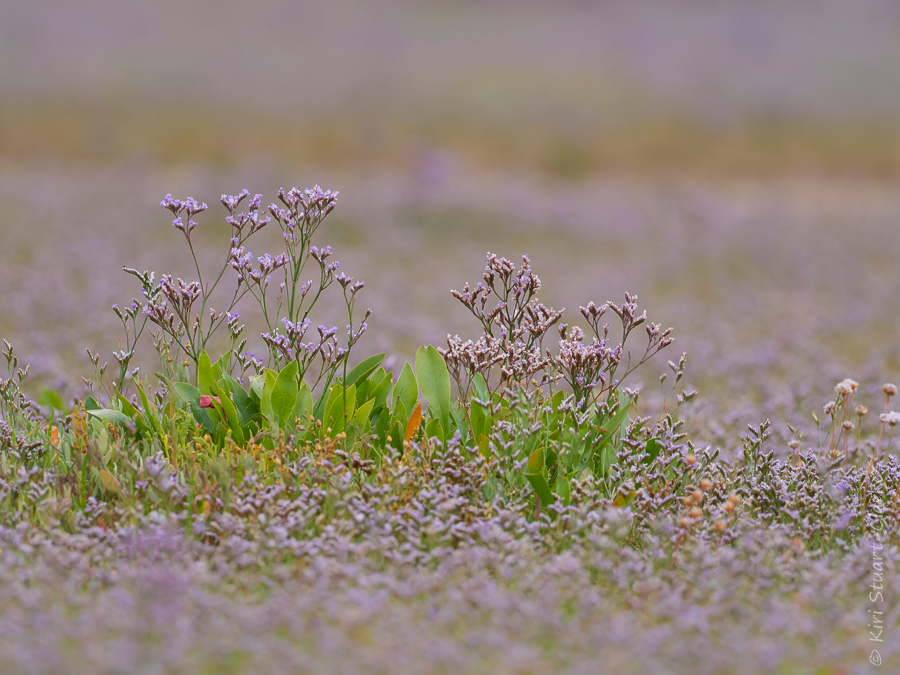 sea-lavender-holkham-norfolk