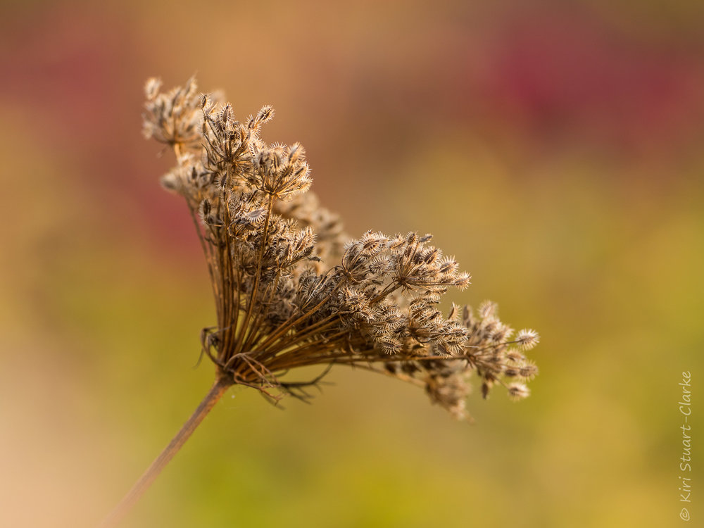 Wild carrot seedhead in autumn light