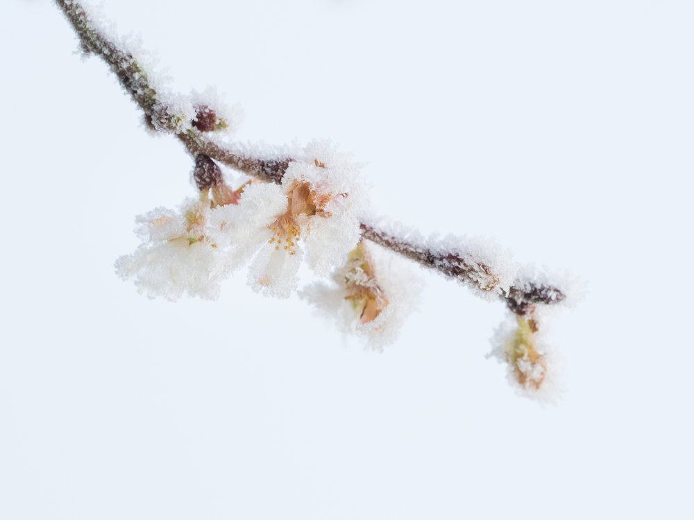 Winter cherry blossom in hoar frost