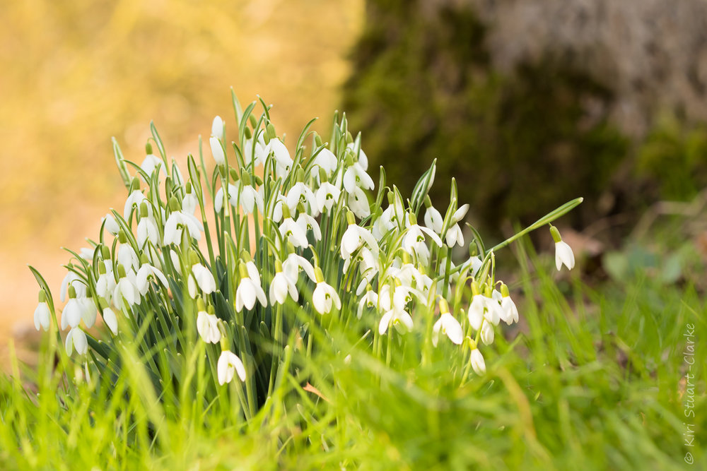 Snowdrops spread by bulb division but ants assist seed dispersal