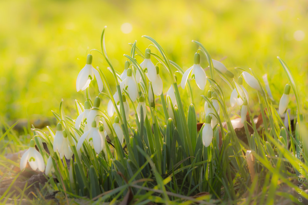 Soft Focus Backlit Snowdrops-4x6