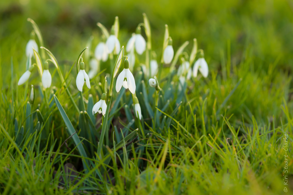 Snowdrops' many folklore names symbolise hope, renewal and death
