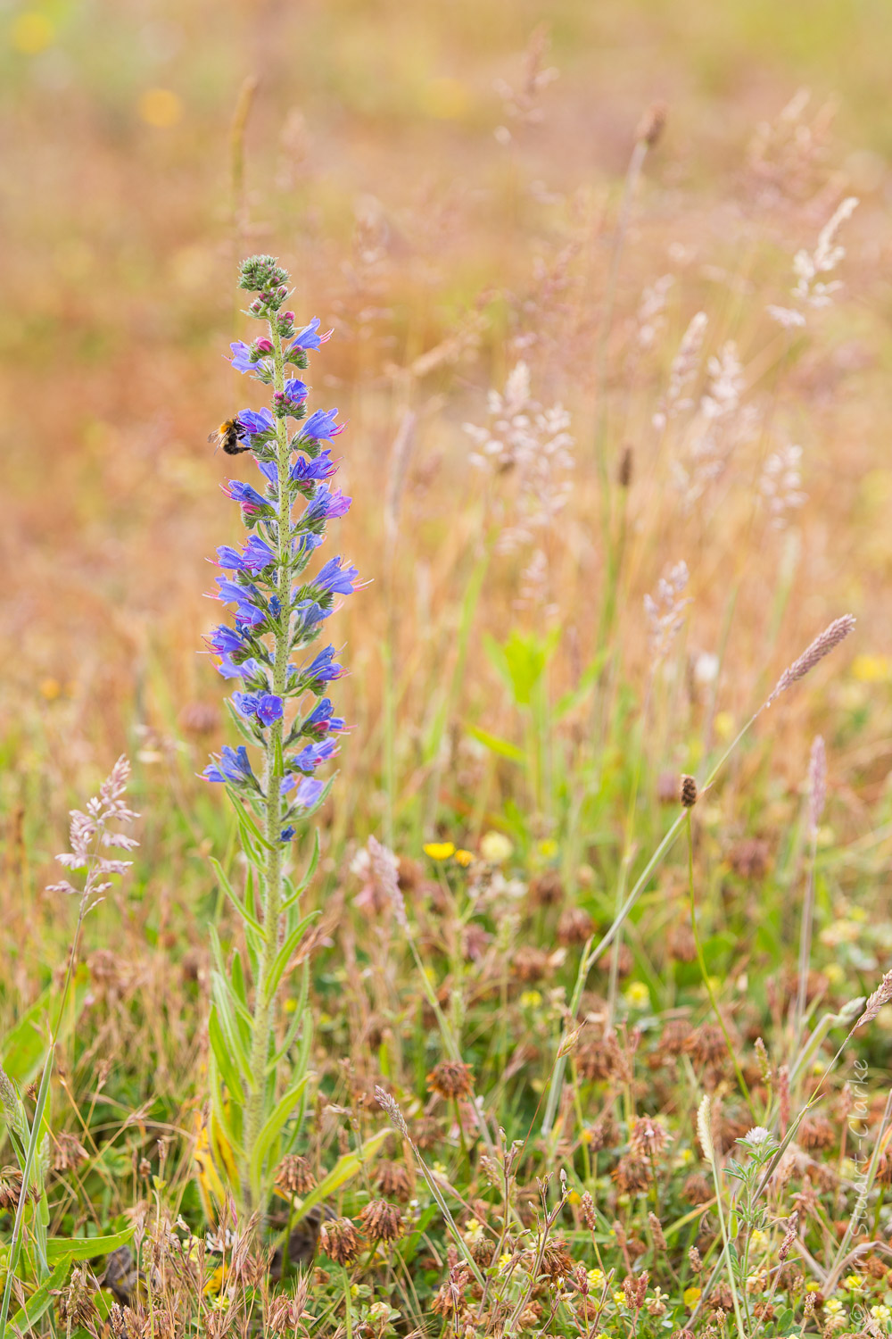 Viper's-bugloss growing wild on Kelling Heath in Norfolk